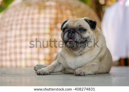 Fawn pug dog lying on concrete floor. - stock photo