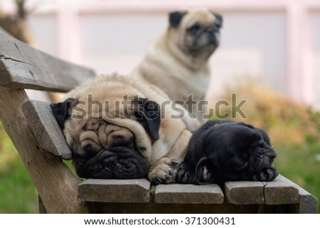 Fawn pug dog sleeping with black puppy pug dog on wooden chair. - stock photo