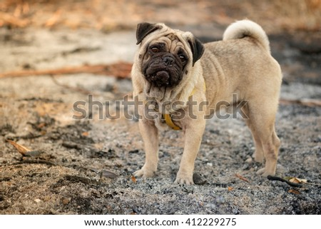 Fawn pug dog with fallow background.