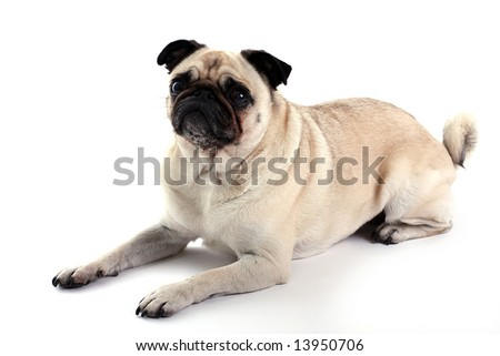 Fawn Pug laying down and isolated on white background. - stock photo