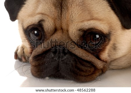 fawn pug portrait with reflection on white background - stock photo