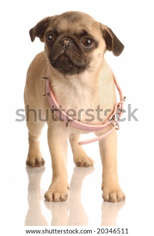fawn pug puppy with pink collar that is too big