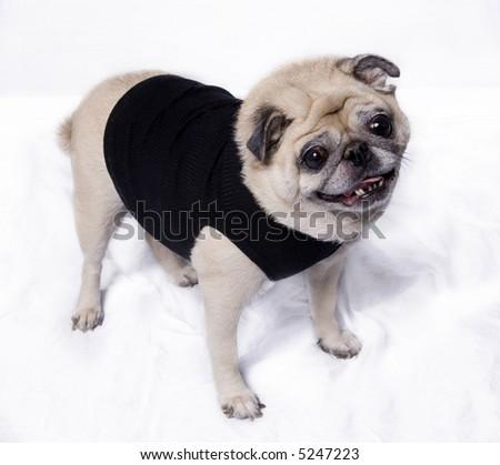 Fawn Pug wearing a fshionable little black t-shirt - stock photo