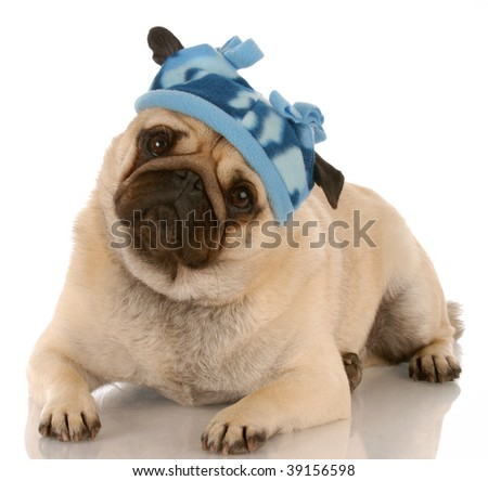 fawn pug wearing winter hat with reflection on white background - stock photo