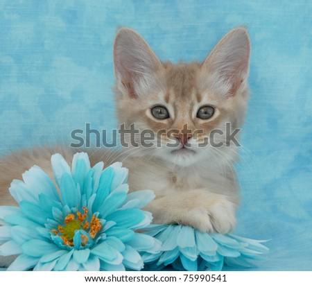 Fawn Silver Somali kitten amongst fabric flowers - stock photo