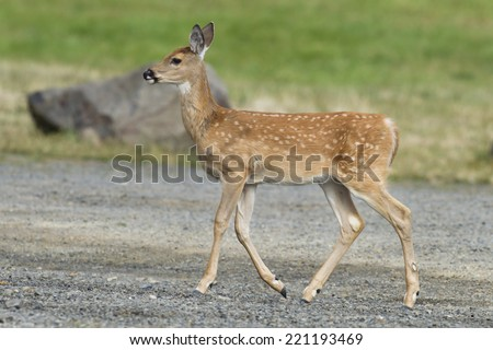 Fawn walks in park in Heyburn State Park in Idaho. - stock photo