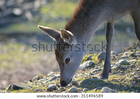 fawn which feeds on grass - stock photo