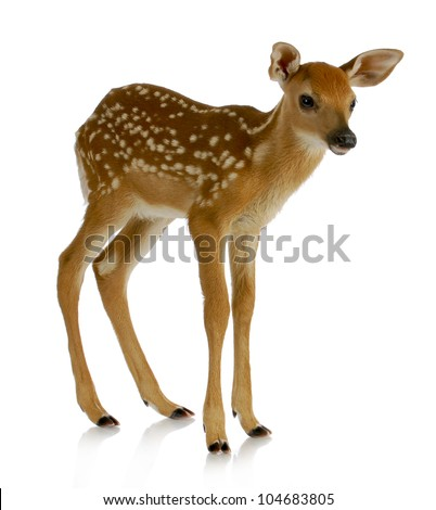 fawn - white-tail standing isolated on white background - stock photo