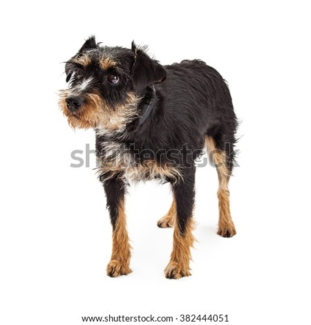 Fearful and shy terrier and Schnauzer rescue dog standing over white - stock photo