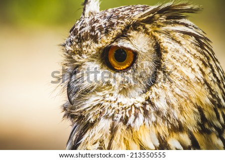 feather, beautiful owl with intense eyes and beautiful plumage - stock photo