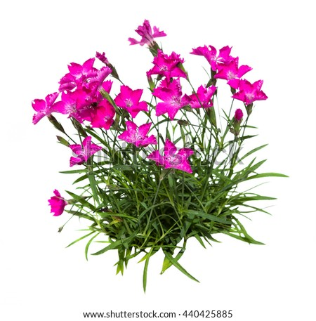Feather carnation or dianthus on white background, a decorative garden plant with blossoms.
