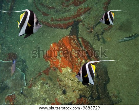 Feather-Fin Bullfish / Bannerfish (Heniochus acuminatus) swimming over a shipwreck covered in coral and sponges. - stock photo