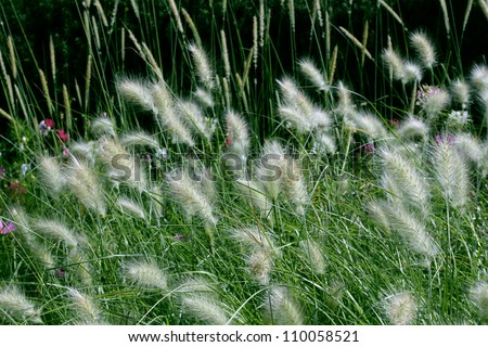 Feather Grass or Needle Grass