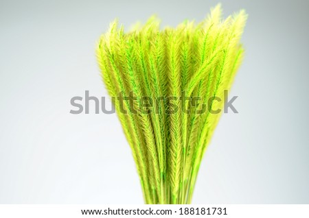Feather Grass or Needle Grass, Nassella tenuissima isolated on white  - stock photo