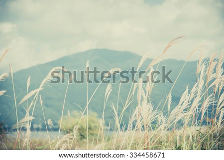 Feather Grass with retro sky blue background and maintain with free space - stock photo