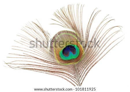 feather of a common peafowl