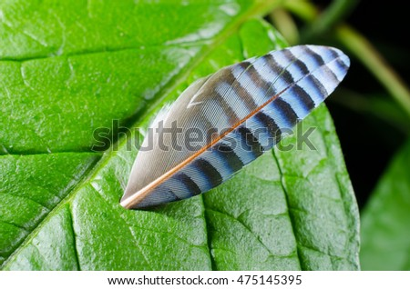 feather of eurasian jay