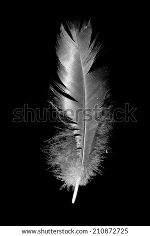 feather on the black background - stock photo