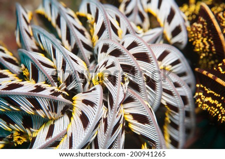 Feather star (Crinoid) _Sea lily - stock photo