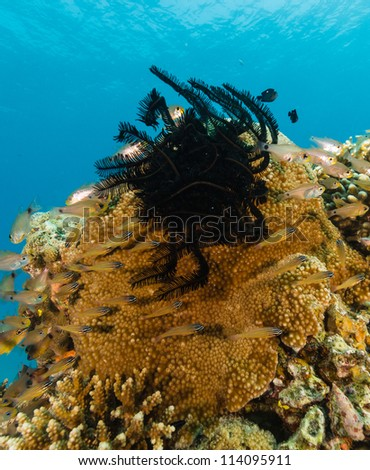 Feather Star on a hard surrounded by juvenile fish on a coral re - stock photo