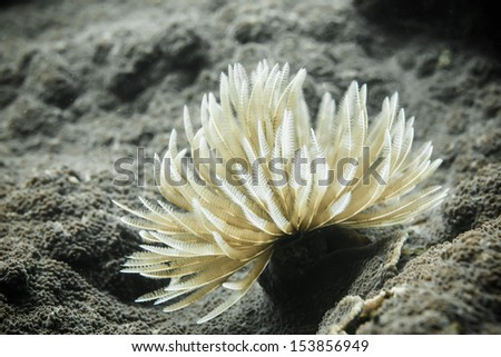 feather tube worm
