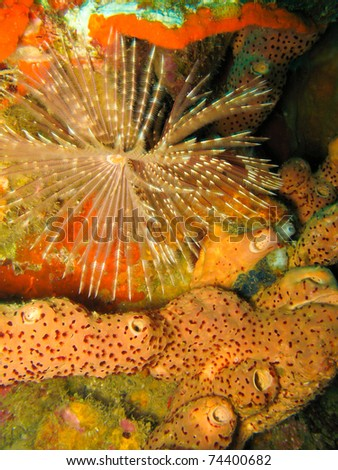 Featherduster Worm Over Sponge on Coral Reef underwater in Dominica Island, Caribbean - stock photo
