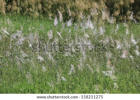 Featherl grass or Cogon grass ( imperata cylindrica ), commonly found in South East Asia