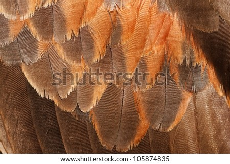 feathers on the wings Harris hawk - stock photo