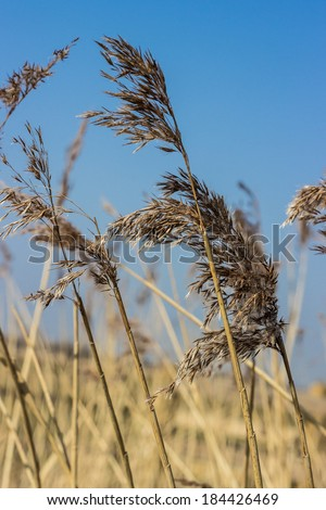 Feathery reeds, blowing in the wind. - stock photo