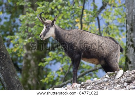 Featured chamois (Rupicapra rupicapra) in early autumn. - stock photo