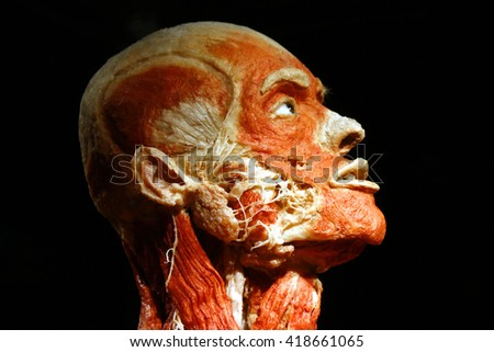 """FEBRUARY 17, 2015 - BERLIN: a fully plastinated human body in the newly opened """"Menschen Museum"""" (human museum) with plastinated corpses at the Alexanderplatz, Berlin-Mitte. - stock photo"""