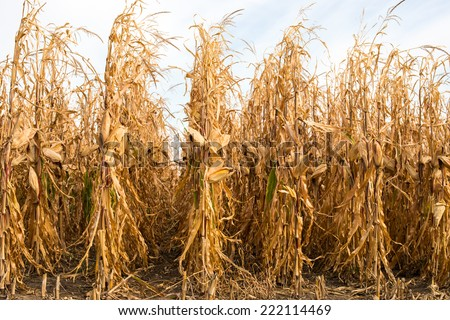 Feed Corn drying in the field - stock photo