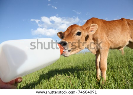 feeding a little baby calf from bottle - stock photo