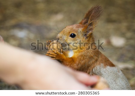 Feeding a red squirrel in the forest - stock photo