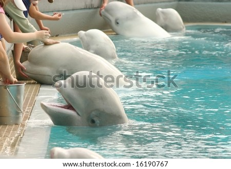 Feeding belugas at the zoo - stock photo