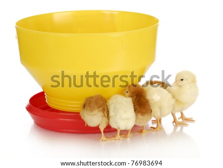 feeding chickens - young chicks standing around feeder on white background - stock photo