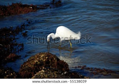Feeding Egret - stock photo