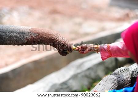 feeding elephant - stock photo
