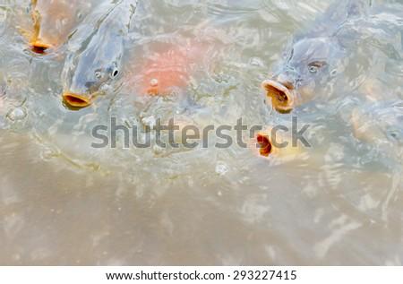Feeding fish Tilapia in the fish ponds ( Nile tilapia, Mango fish, Nilotica) - stock photo