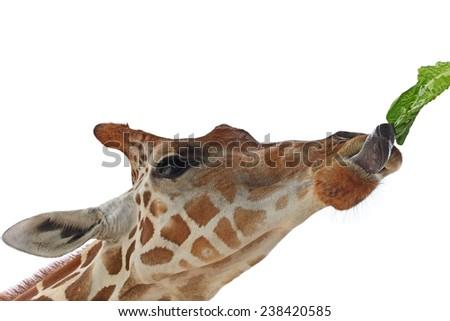 Feeding giraffe with lettuce isoalted on white - stock photo