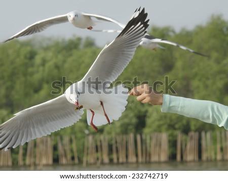 Feeding gulls feeding on the air - stock photo