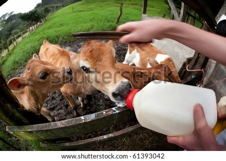 Feeding hungry calves on Costa Rican dairy farm - stock photo