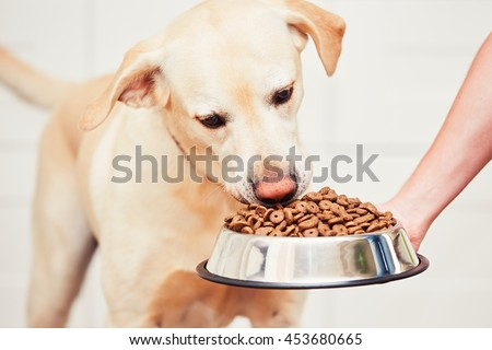 Feeding hungry labrador retriever. The owner gives his dog a bowl of granules.  - stock photo