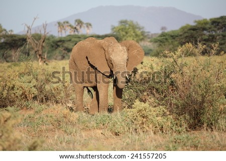 Feeding in the mid-afternoon African sun, the African Elephant stretches his trunk in search of vegetable matter. - stock photo