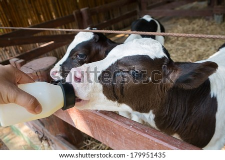feeding milk to baby cow at the ranch - stock photo