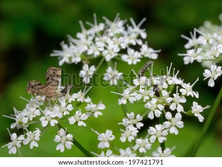 feeding moth on ashweed - stock photo