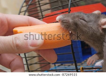 Feeding of a gray rat - stock photo