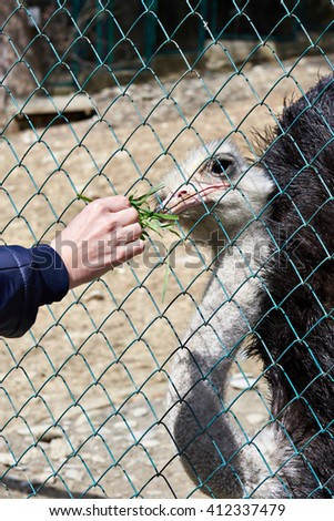 Feeding of an ostrich in a zoo - stock photo