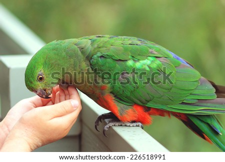 Feeding of King Parrot - stock photo