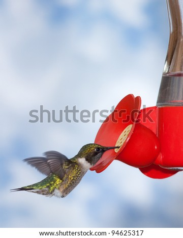 Feeding ruby-throated hummingbird - stock photo